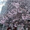 永代橋両岸の早咲きの桜が満開で見頃でした