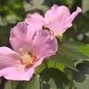 天龍寺のフヨウ、見ごろと開花情報。