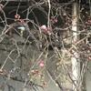 今年も咲きます紅梅@浜町中の橋交差点角好文画廊