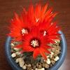 銀粧玉が評判通りの朱の花を咲かせました!