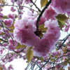 【Yokohama travel】Cherry blossoms at Mitsuike-Kouen park (三つ池公園)