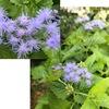 フジバカマは秋.でもセイヨウフジバカマ(ユーパトリウム)が咲き始めました.愛らしい花です.名前の付け方にややこしいところがあるのが残念---- / 一株だけ咲いた宿根アスターはキアゲハの休憩所を提供してくれていました.