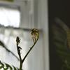 我が家の観葉植物の成長期