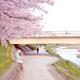 京都で桜散策してきました!(京都御苑~鴨川)