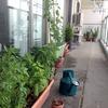 ベランダ菜園週報7月20日「ゴーヤ収穫はじまりました」