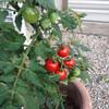 トマトがなってきました