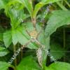 ナガマルコガネグモ
