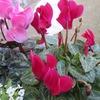 白き指花柄摘むやシクラメン