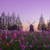 早朝の【あけぼの山農業公園】にて日の出のコスモス撮影(柏市)