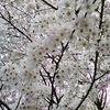 満開の桜に祝福されて