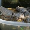 カエルの放し飼い宣言