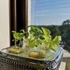 スポンジで始めたレタスと大葉の水耕栽培(約一か月経過)