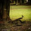 JARDIN BOTANICO 朽ち木に止まるマミジロオニキバシリ