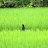 水田の緑に囲まれたキジの雄