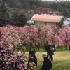 農業センター梅祭り