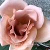 """【庭】Rosa """" Tira Mi Su """""""