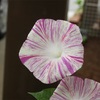 アサガオ氏、ついに開花。