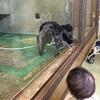 【1歳4ヶ月】チンパンジーに睨まれて泣く