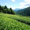 浅刈りをすると濃い緑色の茶畑に変化!