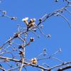咲き始めた「さくら」(3月15日)