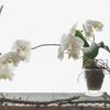 胡蝶蘭と暑さに強い花