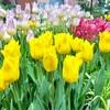 チューリップ咲く花の街! 富山県砺波市(103/1741)