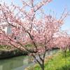 「鷲宮神社」川沿いの桜が満開!