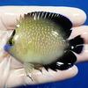 【現物8】ゴールドフレーク 7.5cm±水魚 ヤッコ 餌付け!15時までのご注文で当日発送【ヤッコ】