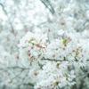 桜の写真を撮ってMIDIでRAW現像