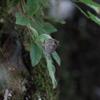 7/30/2016・暗がりの林床に降りた夏のルーミス 〜 紀伊半島の渓谷、暗がりに憧れのルーミスシジミを撮影できました