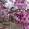 【花見】しだれ桜@新潟市北区ビアンカの庭