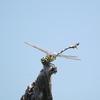 石神井公園の野鳥 アオバズク・ツミ他 2021年8月1日