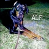 Today's Dog - ALF アルフ