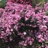 バラ栽培講座23 バラの薬剤の賢い買い方
