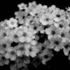モノクロの花々