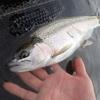 犀川でニジマスを釣る