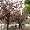 コゲラと不忍池の関山(カンザン)
