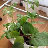 夏野菜定植