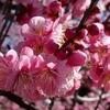 春爛漫♪ 紅梅 白梅