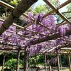 昭和の日に藤を観に行く。
