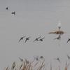 新機種CANON EOS 7D Mark II 試写 朝もやの手賀沼の岸辺から飛びたつオナガガモの群れ