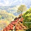 平成の〆/4月の花で✾日之影町天神ツツジ山✾おまけは「願いが叶う」吉都線🚈