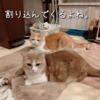 雨田甘夏、優先です。【猫と母ちゃんと父ちゃん事情】
