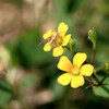 カタバミの花にいたササグモの幼体