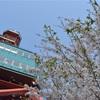テレビ塔の下の桜