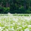 京都・亀岡 - 犬甘野のそば畑