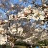 【お花見】代々木公園 開花状況 (2019/3/27) 〜今日は花見に最高!