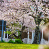 桜並木撮影