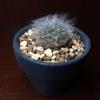 白いマミラリア属サボテン、高砂の小さい苗に出会う