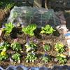 家庭菜園の報告。キャベツが育ってきました。